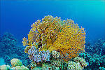 Millepora dichotoma of Red Sea...