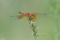 362700035 male band-winged meadowhawk sympetrum semicintum wild california