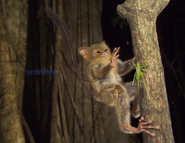 Spectral or Sulawesi Tarsier (Tarsius spectrum) reaching for a Cricket in the rainforest of Tangkoko Nature Reserve, Sulawesi, Indonesia.
