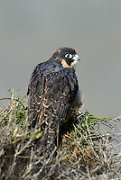 527950049 a wild federally endangered juvenile peregrine falcon falco peregrinus perches on a cliff face along the pacific ocean at torrey pines state preserve la jolla california