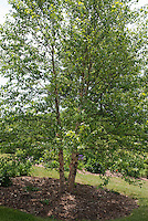Heritage River Birch tree Betula nigra Heritage