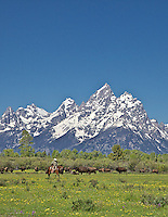 A Wyoming cowboy works cows in Jackson Hole Wyoming beneth the stunning peaks of the Grand Tetons.