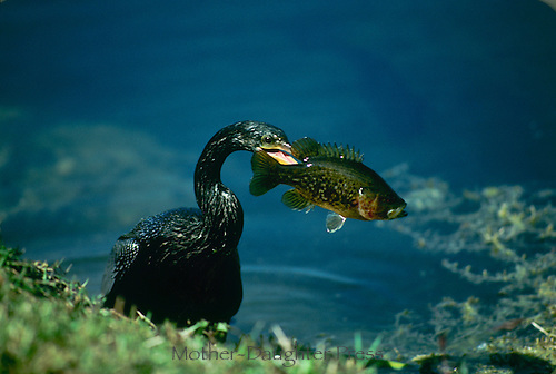 "Anhinga, Anhinga anhinga, the ""snake bird"" pulls fresh caught perch from water with enthusiasm"