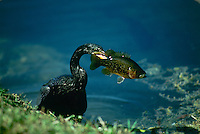 "Anhinga, Anhinga anhinga, the ""snake bird"" pulls fresh caught perch from water with enthusiasm"