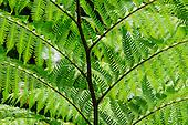 A close-up of hapu'u ferns along the trail at 'Akaka Falls State Park, Honomu, Big Island.