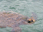 Tranquil Green Sea Turtle on the Kohala Coast of the Big Island, Hawaii.