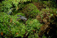 Alpine Newt (Triturus alpestris) male crawling across moss.