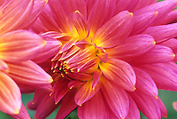Flower bulb; Dahlia 'Keri Smokey'