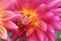 Flower bulb; Dahlia 'Keri Smokey'