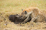 A mother spotted hyena nuzzles her cub in Masai Mara, Kenya.