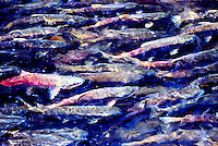 Annual Bridge River Sockeye Salmon Run (Oncorhynchus nerka) near Lillooet, BC, British Columbia, Canada - Fish returning to Spawn