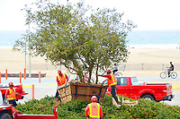Crew from the Valley Crest Tree company transplant a 25 foot  Melaleuca. tree into the Bay Street circle on Thursday, March 29, 2012. The tree was moved from the corner of 26th Street and Olympic Avenue  to make way for the Expo Line right-of-way..
