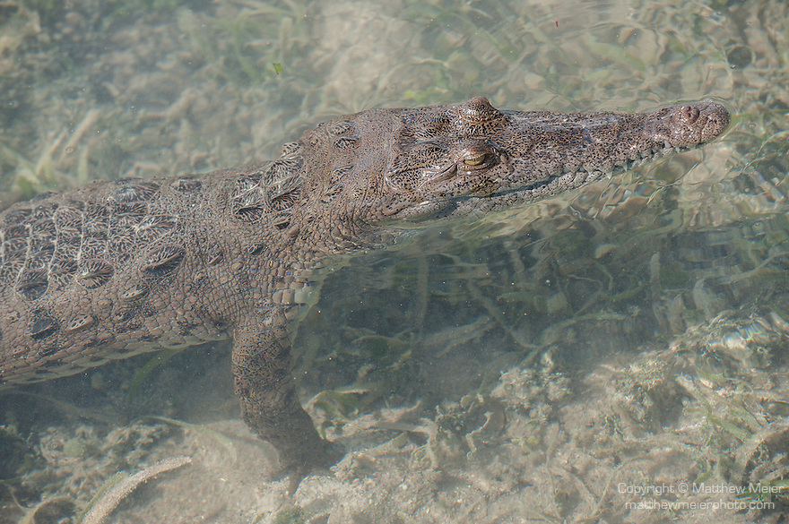 Gardens of the Queen, Cuba; an American Crocodile (Crocodylus acutus) standing in the shallow water amongst the sea grass