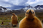 King Penguin chicks, South Georgia Island, UK
