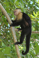 .White-throated Capuchin (Cebus capucinus), adult climbing on a forest branch, Cahuita National Park, Costa Rica