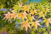 Acer palmatum Sango-kaku AGM  in fall autumn foliage color Japanese maple tree