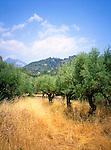Olive Grove, Kardhamili, Greece