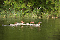 &quot;Common Merganser&quot;<br />