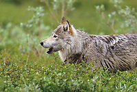 Gray wolf chews on ground squirrel on the tundra of Denali National Park, Alaska