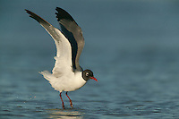 Laughing Gull (Larus atricilla) taking off into flight