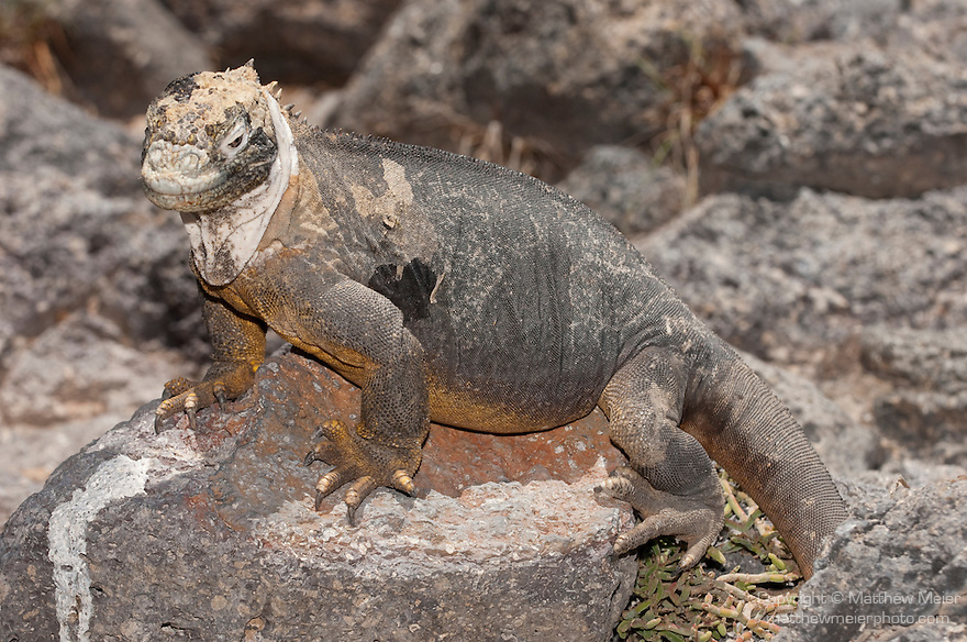 South Plazas Island, Galapagos, Ecuador; hybrid of the Galapagos Land Iguana (Conolophus subcristatus) and the Marine Iguana (Amblyrhynchus cristatus), both endemic to the Galapagos Islands, these cross bred hybrids only exist on South Plazas Island , Copyright © Matthew Meier, matthewmeierphoto.com All Rights Reserved