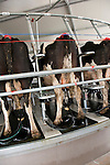 New Zealand, North Island, near Wellington, rotary cow milking shed operation in Wairarapa. Photo copyright Lee Foster. Photo #125952