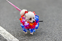 A Poodle dog, wearing a fancy costume, participates in the Blocao pet carnival show at Copacabana beach in Rio de Janeiro, Brazil, 12 February 2012.