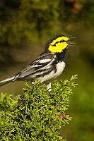 591850035 a wild federally endangered male golden-cheeked warbler setophaga chrysoparia - was dendroica chrysoparia - sings while perched in a fir tree in the texas hill country texas united states