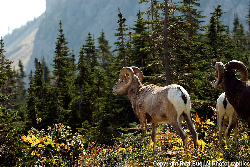 Bighorn Sheep, Glacier National Park