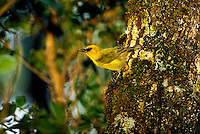 The rare and endangered Akiapolaau native honeycreeper found in the forest of Hakalau Forest National Wildlife Refuge on the Big Island