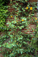 Fremontodendron 'California Glory' (AGM) climbing vine shrub against brick wall, in yellow flowers, showing plant habit of flannel bush