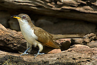 513580022 a wild yellow-billed cuckoo coccyzus americana perches on a log at a small pond in the rio grande valley of south texas