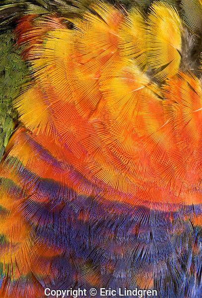 Colourful Rainbow Lorikeet plumage - Breast feathers of an Australia Rainbow Lorikeet show the gawdy colours that give the species its name.  // Rainbow Lorikeet - Length to 30cm; Many subspecies occur on islands and mainland from Indonesia eastwards into the south-west Pacific as far as Vanuatu and New Caledonia. In Australia - widespread in savannah woodland from the Kimberley region in north-west Western Australia along the coastal areas to eastern South Australia. Introduced into south-west Western Australia. A lively raucous species popular as a cage bird throughout the world.  //Eric Lindgren//