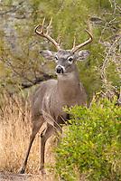 625350331 a wild whitetail deer buck odocoileus virginianus on santa clara  ranch in the rio grand valley hidalgo county texas united states