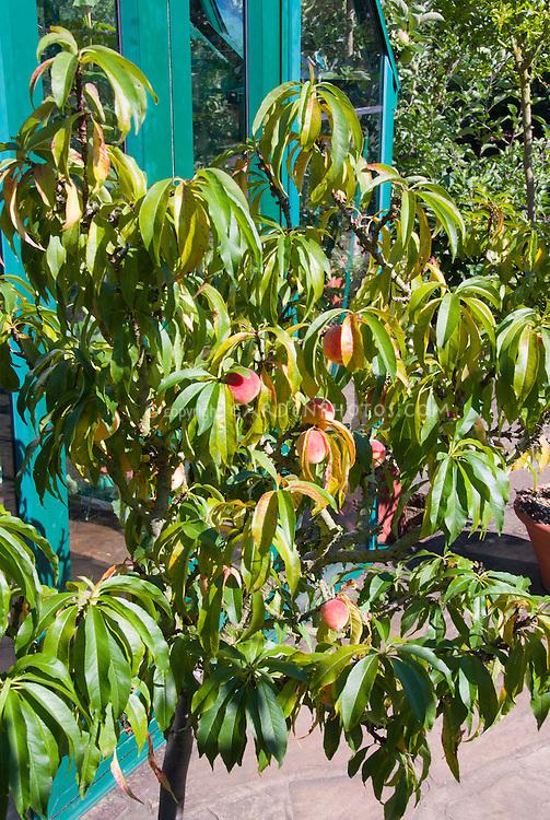 Prunus Persica Tree Prunus Persica 39 Peach Bonana 39