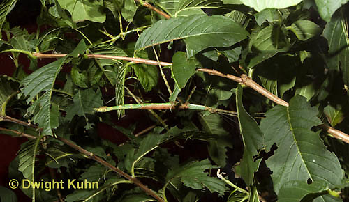 OR07-506z  Walking Stick Insect, camouflaged on tree,  Acrophylla wuelfingi