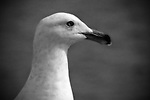 Seagull on the Seal Beach Pier posing for photographs (b&w).