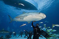 RW2117-D. Tiger Shark (Galeocerdo cuvier) swims overtop scuba divers during an offshore baited dive organized for shark enthusiasts. Tourists in the background take pictures while the experienced dive master gently strokes the underside of a 12 foot long female shark. Bahamas, Atlantic Ocean.<br /> Photo Copyright &copy; Brandon Cole. All rights reserved worldwide.  www.brandoncole.com