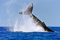 humpback whale, throwing peduncle, Megaptera novaeangliae, Big Island, Hawaii, Pacific Ocean