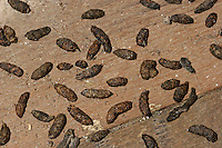 Wanderratte, Losung, Kot, Kotpillen, Wander-Ratte, Ratte, Rattus norvegicus, Common Rat, Rat surmulot, Losung, Kot, Kotpillen