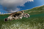 Pet baby hawksbill turtle (Eretmochelys imbricata) split level in the shallows.