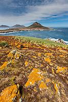 Oranch lichen on Steeple Jason Island, Falkland Islands