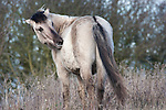Konik Horse, Kent UK, grooming, direct descendants of the Tarpan, a wild horse which was hunted to extinction, Koniks is Polish word for wild horse, winter coat, pony, introduced into wetland areas to help graze and keep reedbeds managed for conservation