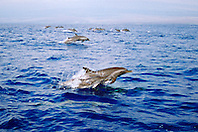 pantropical spotted dolphins, porpoising, .Stenella attenuata, mother and calf, .Big Island, Hawaii (Pacific).