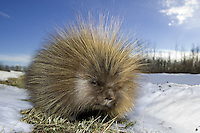 Porcupine walking alongside a road