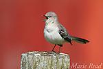 Northern Mockingbird (Mimus polyglottos), singing in spring, red barn in background, Interlaken, New York, USA