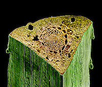 Pine (Pinus) needle cross-section. SEM X134  **On Page Credit Required**