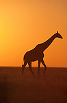 Giraffe, Giraffa camelopardalis, at sunset, Etosha national park, Namibia
