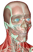 An anterolateral view (right side) of the musculoskeleton of the head and neck. Royalty Free
