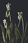 Wilting flowers, black background